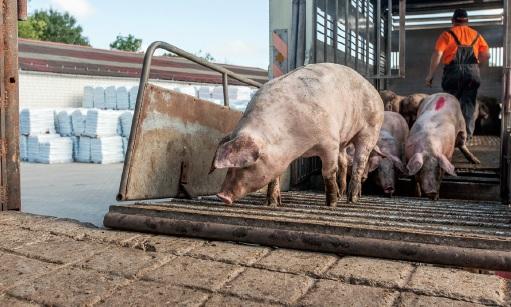 Niderlandzka minister rolnictwa poinformowała o zakazie transportu zwierząt gospodarskich przy temperaturach od 35 stopni Celsjusza.